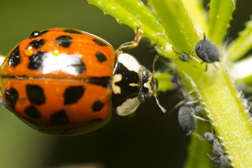Koristne žuželke na našem vrtu