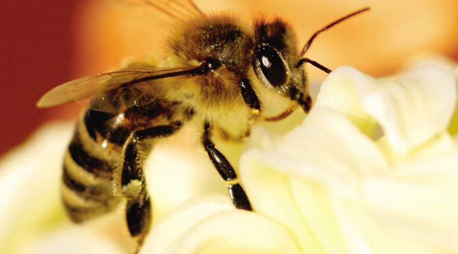 Čebele poskrbijo za vsako tretjo žlico naše hrane