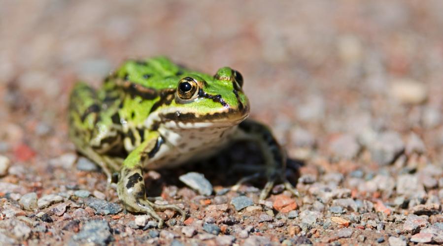 Žabe v Sloveniji: zaščitene vse vrste