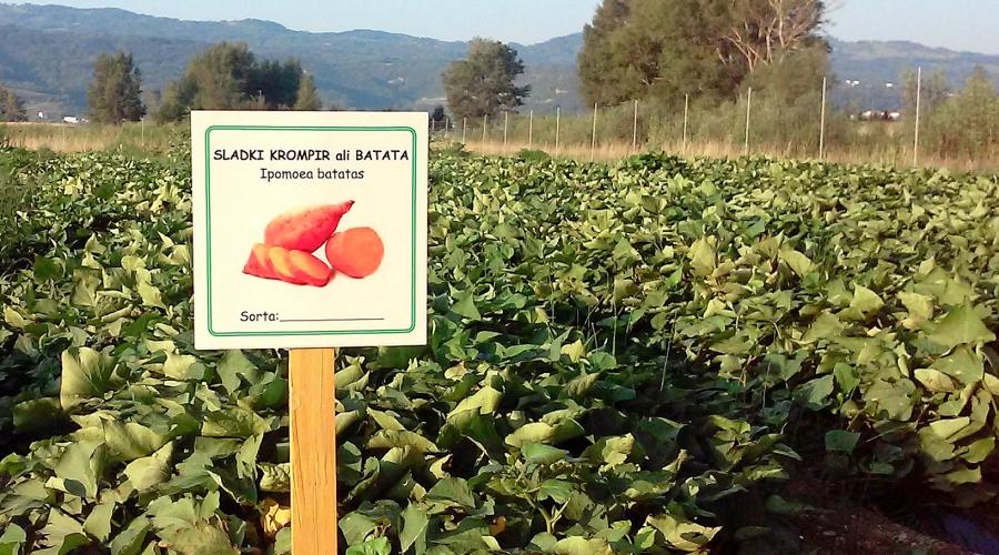 V Zelenem izzivu Občine Ajdovščina tudi letos eksotične vrste zelenjadnic