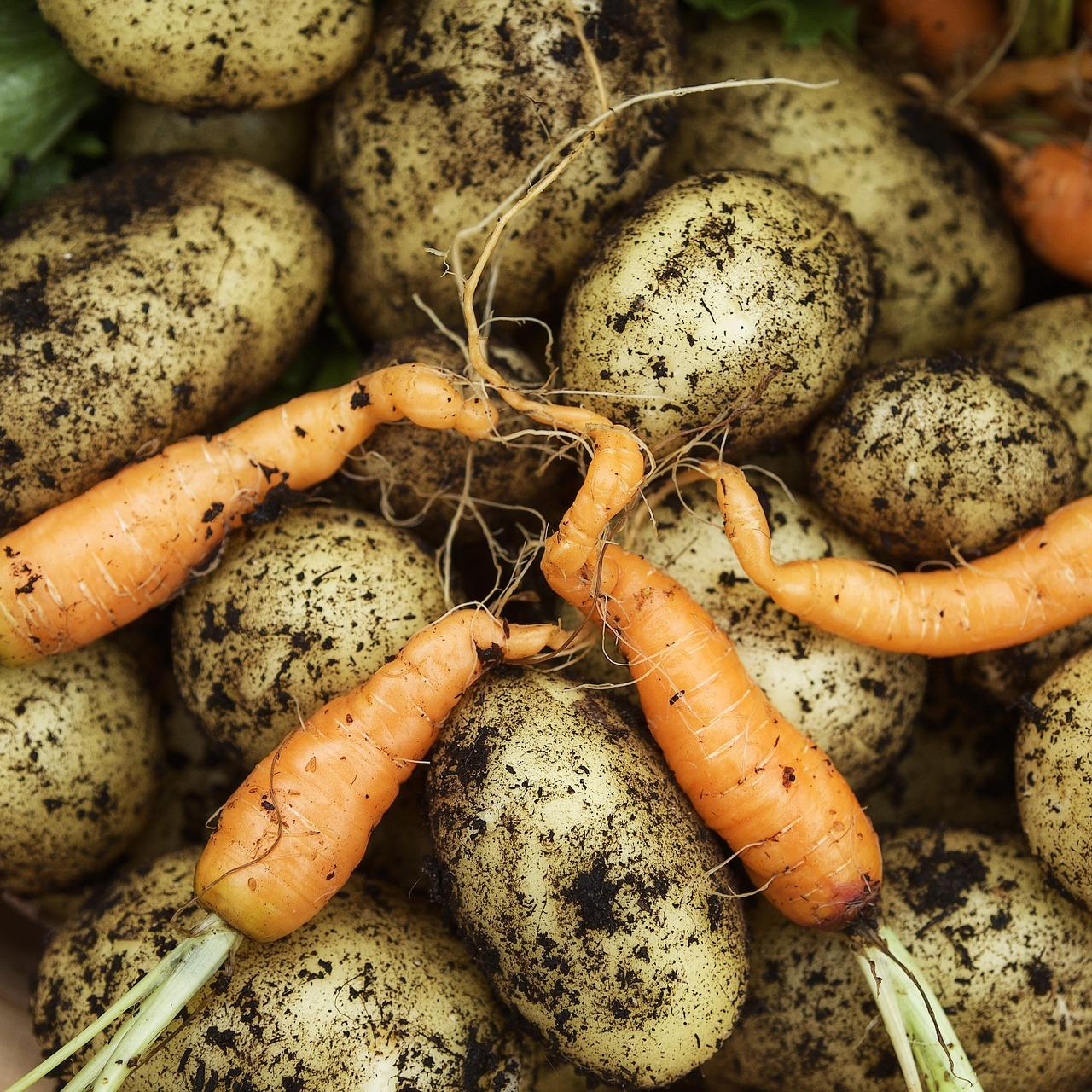 Pobiranje pridelkov: naj ozimnica traja čim dlje