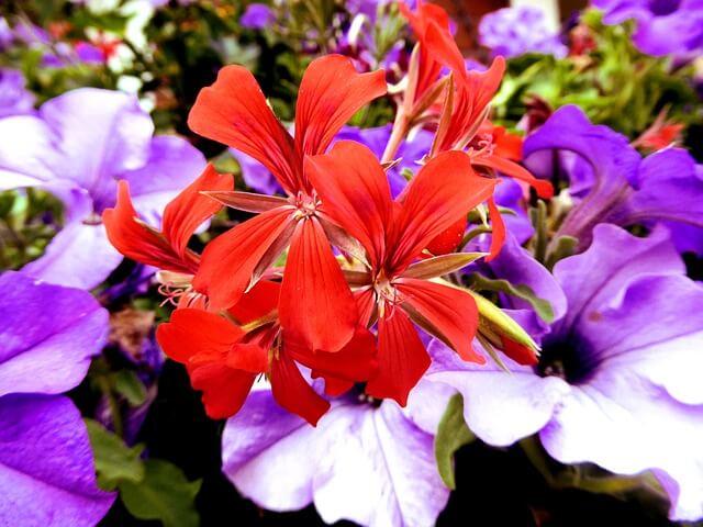 Razmnoževanje pelargonij za zanimive in lepe balkonske zasaditve