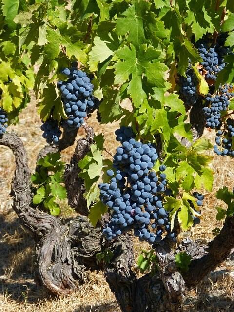 Vinski sejem: Imajo stare sorte vinske trte prihodnost?