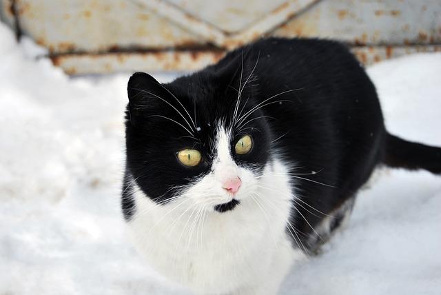 Prostoživeče mačke so pozimi še bolj ranljive