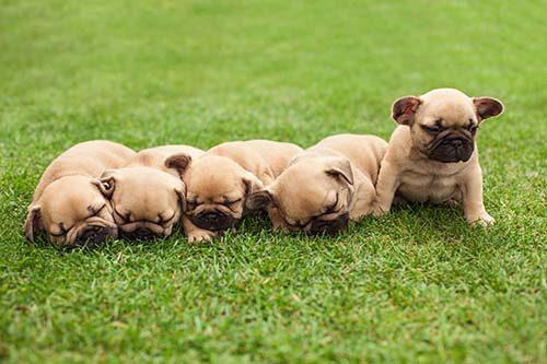 little sleeping French bulldog puppies lying on a beautiful green grass