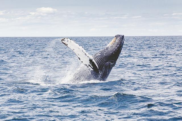 Na Bledu mednarodno zasedanje o kitolovu