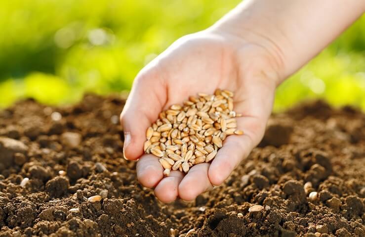 Za ohranjanje avtohtonih sort pomembna kakovostna semena