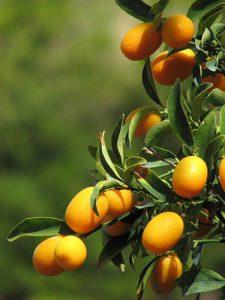 Kumkvat je podoben drobnim pomarančam
