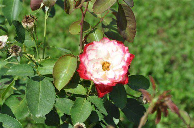 Foto: Vrtnica, kraljica rož
