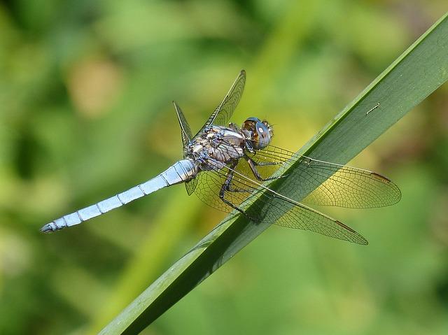 blue-dragonfly-1488507_640