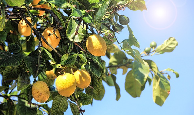 Limona na našem vrtu?
