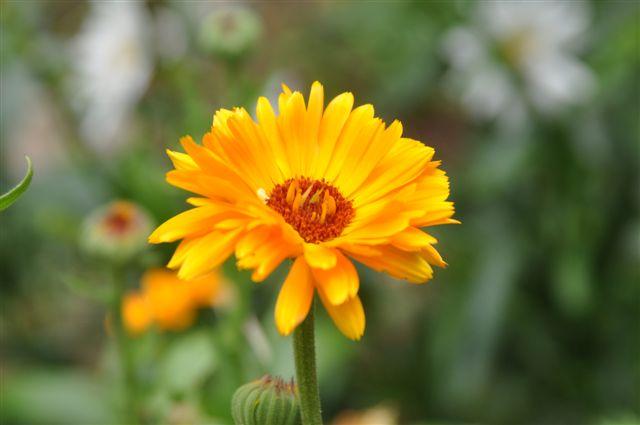 Foto: topla barva vrtnega ognjiča