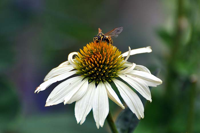 coneflower-1876430_web