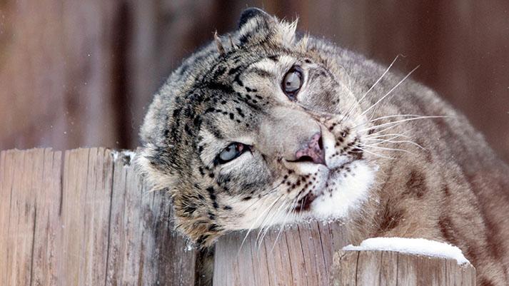 Snežni leopardi niso več ogrožena živalska vrsta