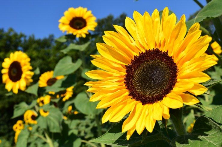 Sončnice za srečo in za čebele