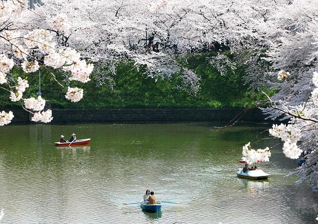 Vreme zmedlo naravo: na Japonskem cvetijo češnje