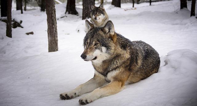 Prek 200.000 glasov z vsega sveta proti pobijanju slovenskih volkov