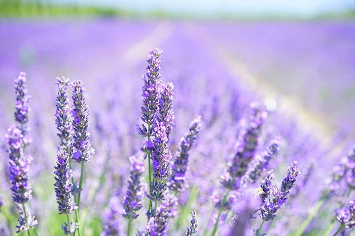lavender-blossom-1595581_web2
