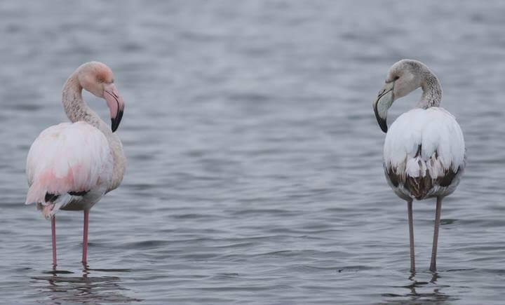 Par plamencev opazili na Ptujskem jezeru