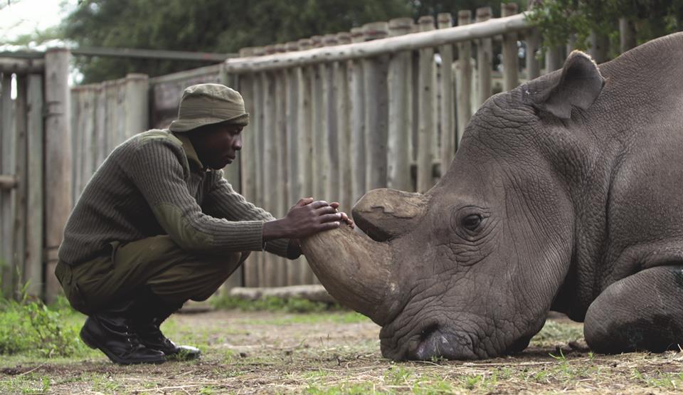 Kaj je ob smrti zadnjega severnega belega nosoroga povedal njegov skrbnik?