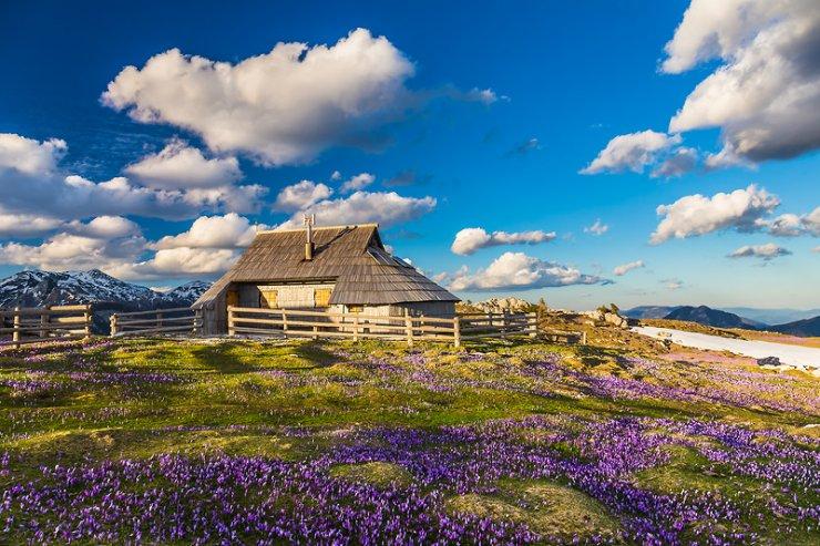 Na Veliko planino vabi cvetoče polje žafranov