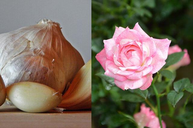 Dobre sosede na vrtu - 1.del: česen in vrtnice