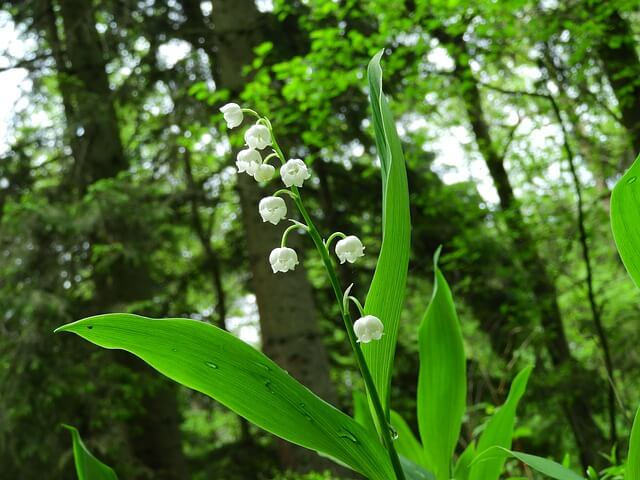 lily-of-the-valley-2327352_640