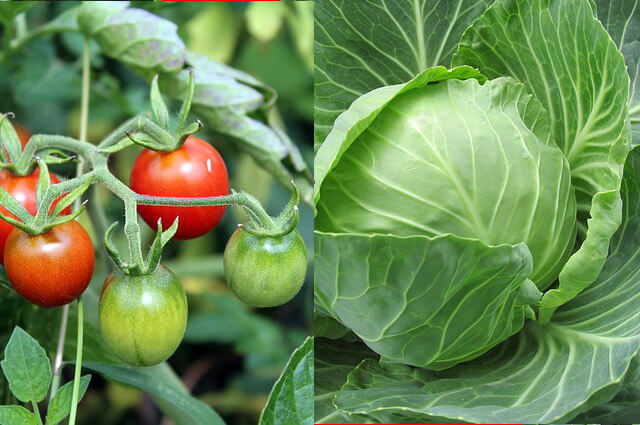 Dobre sosede na vrtu 2. del: paradižnik in zelje