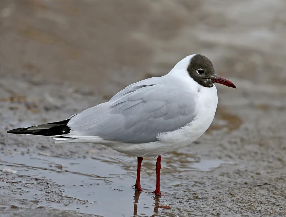 Vzrok pogina ptic na območju Ptuja še ni znan, ni pa šlo za ptičjo gripo