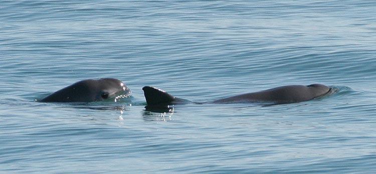 Kalifornijska pliskavka (Foto: NOAA, Wikipedia)