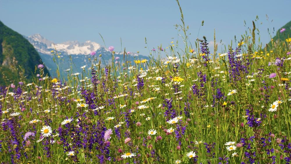 12. mednarodni festival alpskega cvetja: 25. maj – 10. junij 2018
