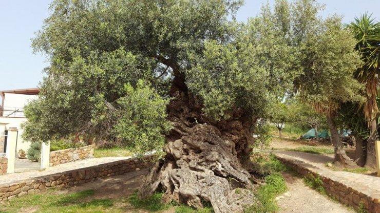 3000 let stara oljka tudi letos polna oliv