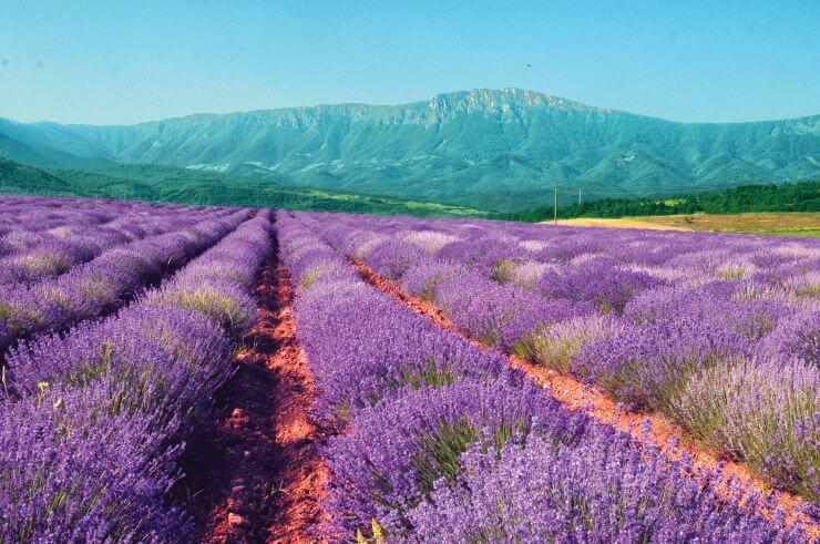 Največja plantaža zelišč za eterična olja v Evropi - srbska Crvena Reka