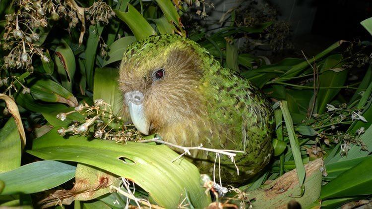 Kakapo (foto: Department of Conservation, Wikipedia)
