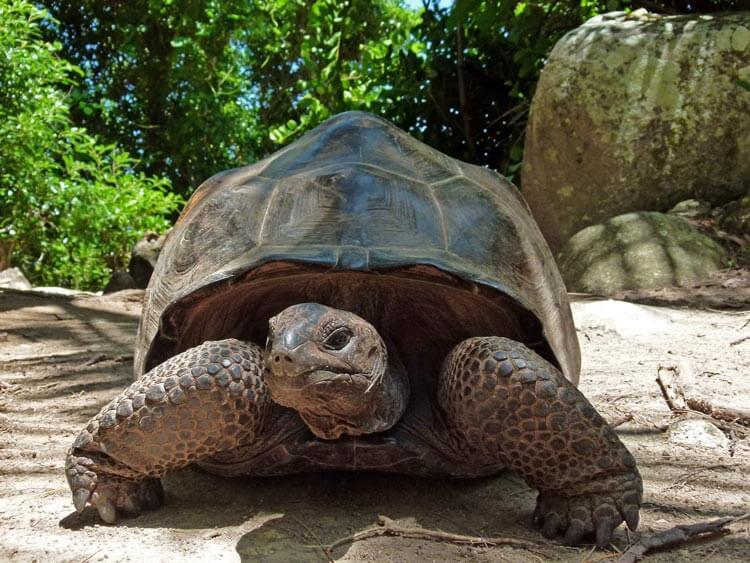 Želva vrste Aldabra giant tortoise (foto: Xjschx, Wikipedia)