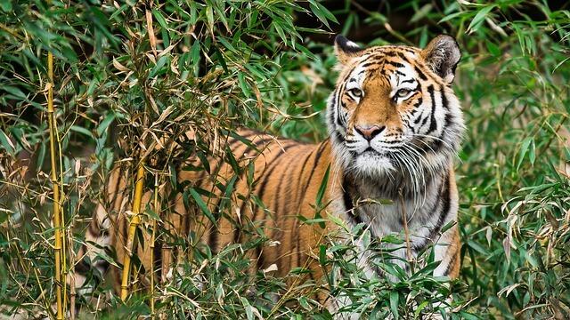 V Indiji dovoljeno streljanje na lovce tigrov
