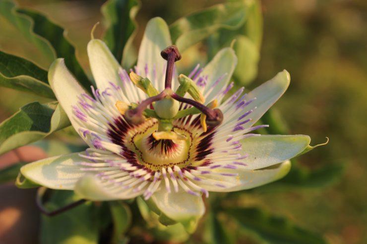 Pasijonka – čudovit cvet in okusen plod tudi z naših vrtov