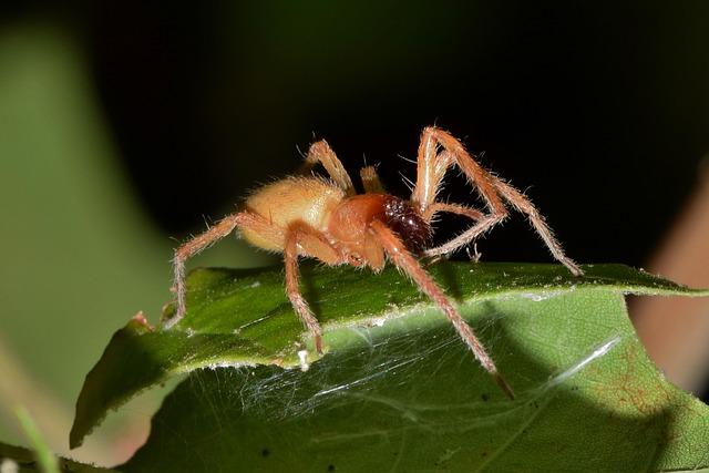 vrečasti pajek