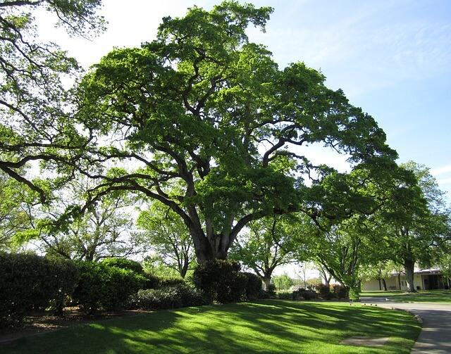 Mesto Toronto kupilo zemljišče zgolj zato, da reši drevo pred posekom