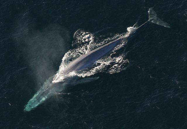Slovenija od Japonske prevzela predsedovanje Mednarodni komisiji za kitolov