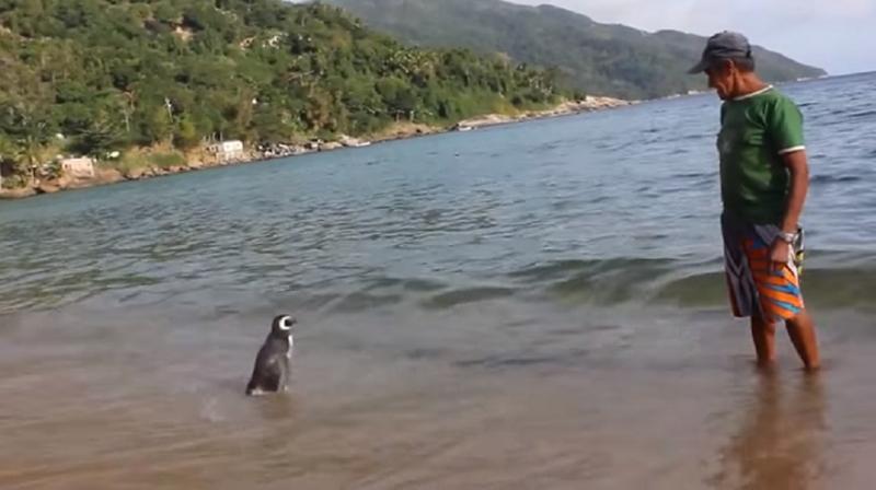 Pingvin, ki vsako leto preplava 8000 kilometrov, da obišče svojega rešitelja
