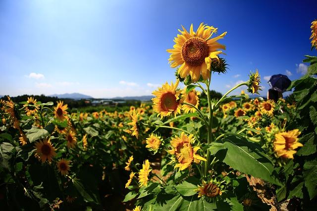 Zakaj bi morali vsi saditi sončnice?