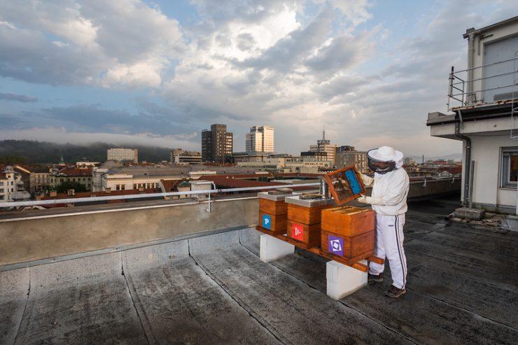 Urbano čebelarstvo vse bolj popularno v svetu in pri nas