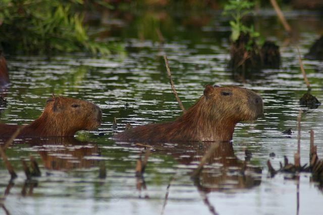 capybara-203337_640