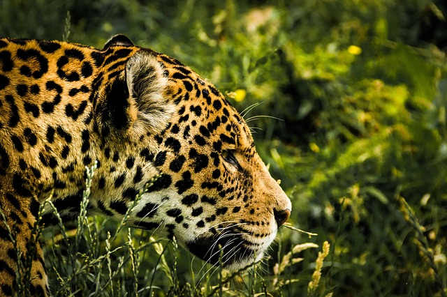 jaguar-1807171_640