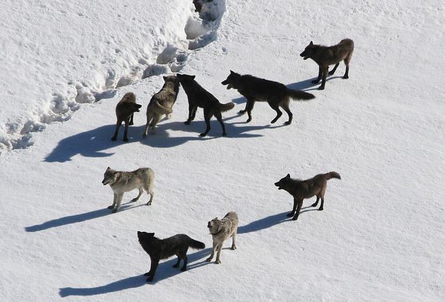 Volk, ki so ga preselili na otok, se je po ledu vrnil domov