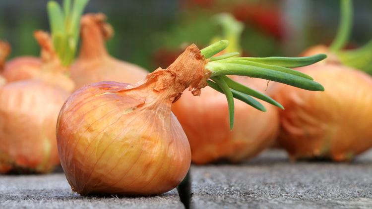 Sejemo in sadimo že zdaj: čebula in šalotka