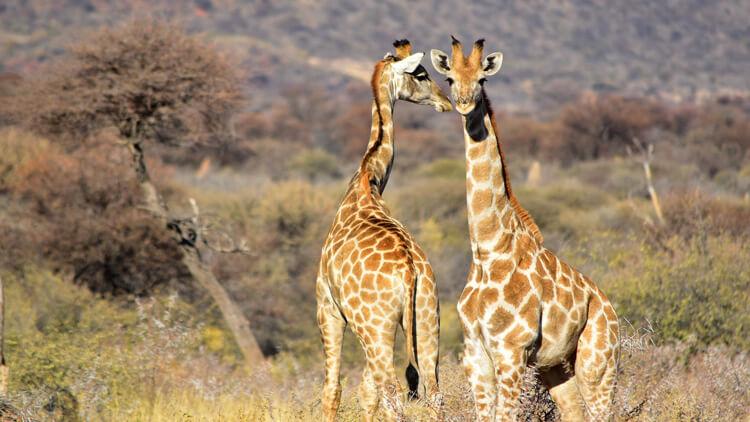 Žirafe se bodo pridružile seznamu ogroženih vrst