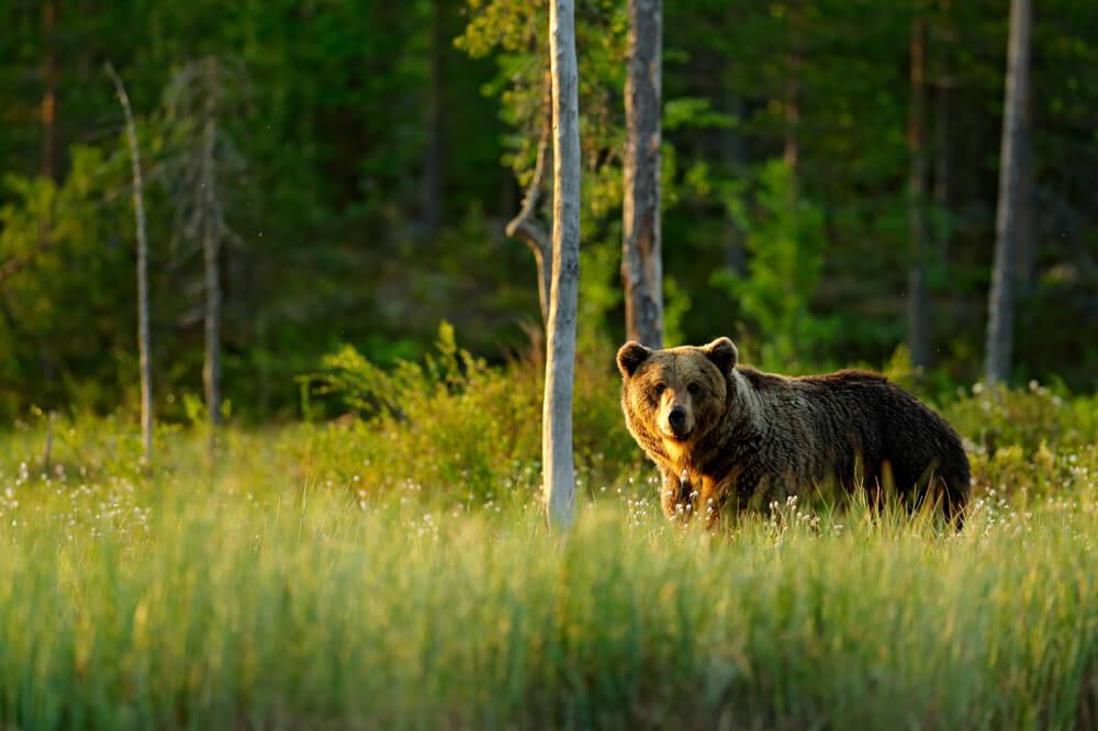 V gozdove Anglije se vračajo medvedi in volkovi