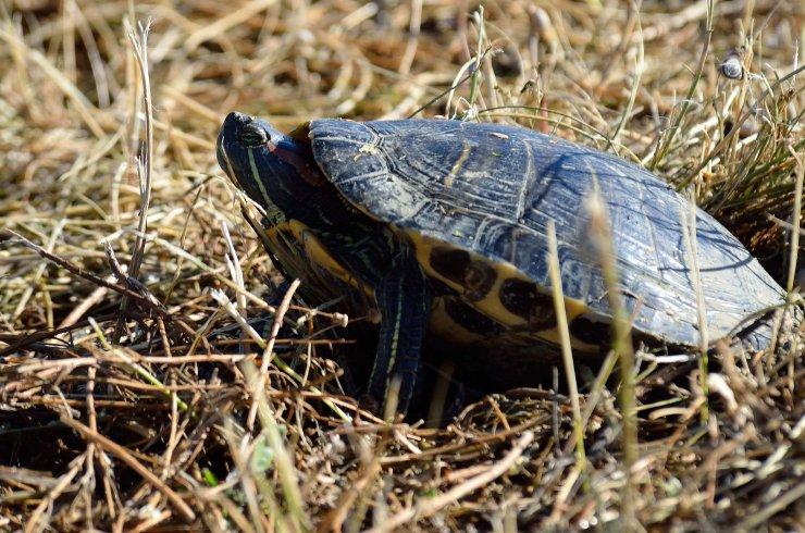 Tujerodne želve ogrožajo naše domorodke